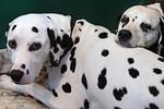BIRMINGHAM, ENGLAND - MARCH 13:  Two dalmatian...