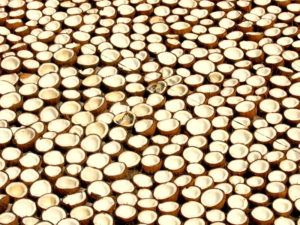 Rows of split coconuts drying to make copra