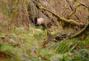 Elk Standoff